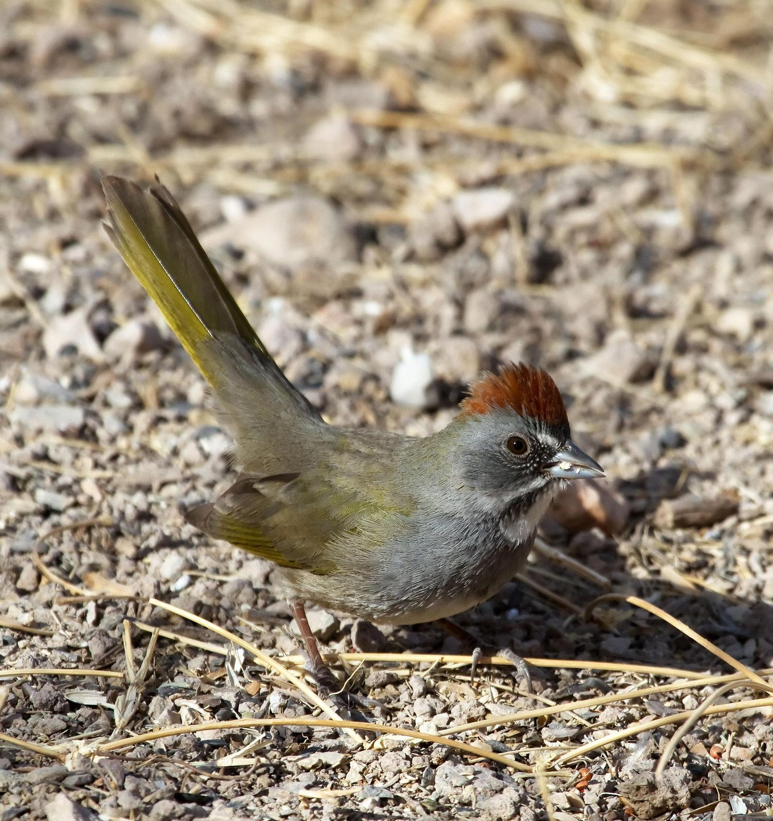 Green-tailed Towhee Photo by Scott Berglund