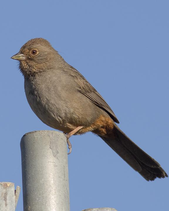 California Towhee Photo by Anthony Gliozzo