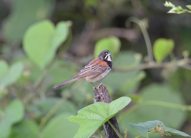 Black-chested Sparrow Photo by Gustavo Fernandez
