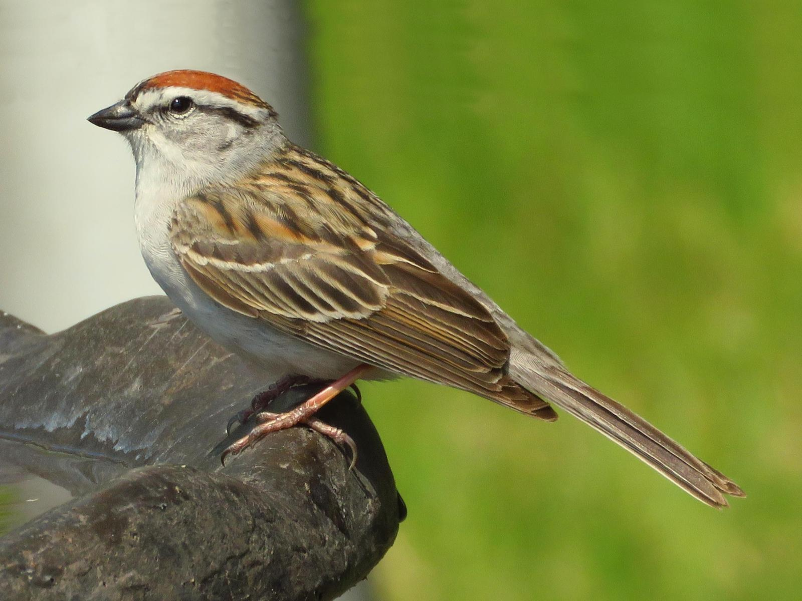 Chipping Sparrow Photo by Bob Neugebauer