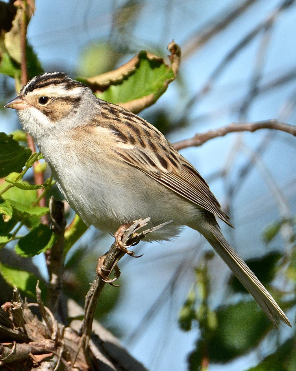 Clay-colored Sparrow Photo by Brian Avent