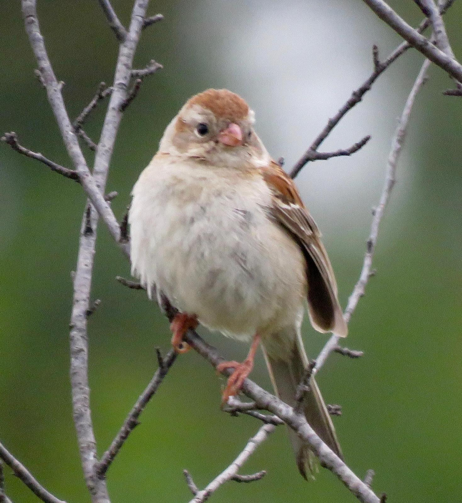 Field Sparrow Photo by Don Glasco