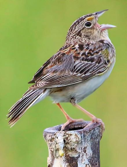 Grasshopper Sparrow Photo by Dan Tallman