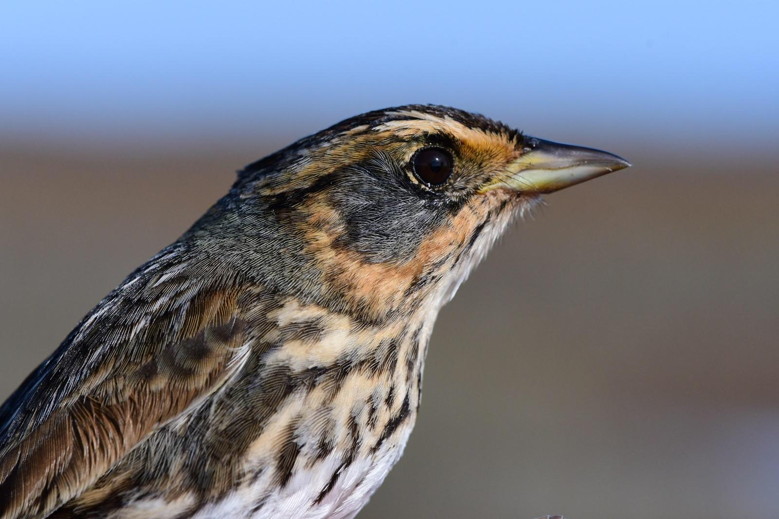 Saltmarsh Sparrow Photo by Jacob Zadik