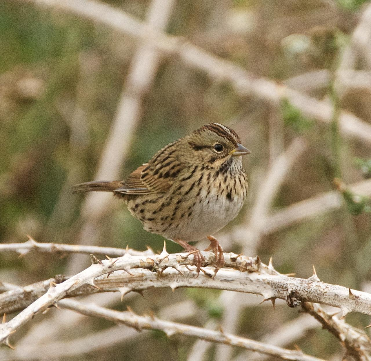 Lincoln's Sparrow Photo by Brian Avent