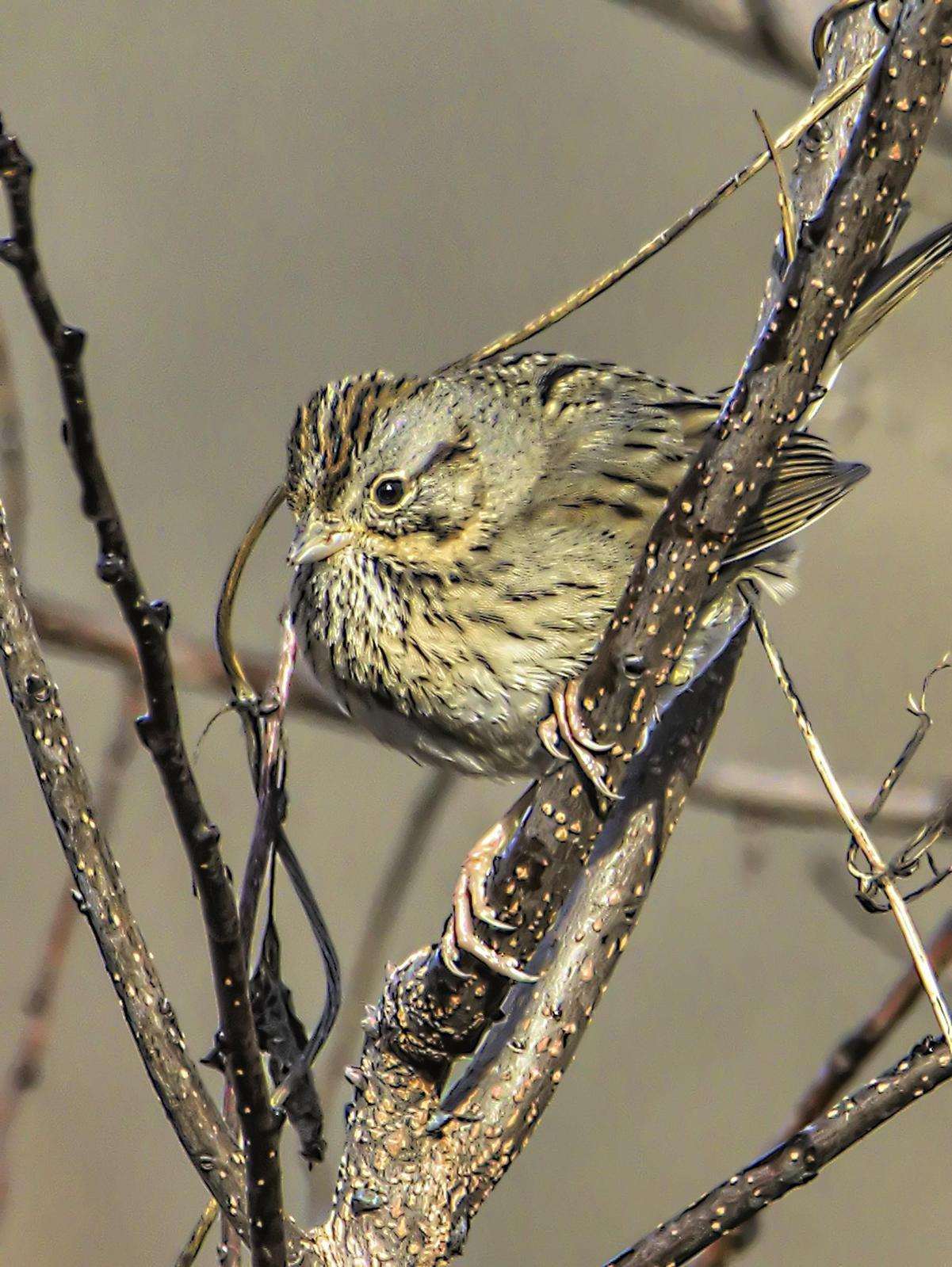 Lincoln's Sparrow Photo by Dan Tallman