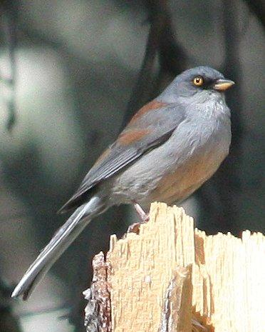 Yellow-eyed Junco Photo by Andrew Core