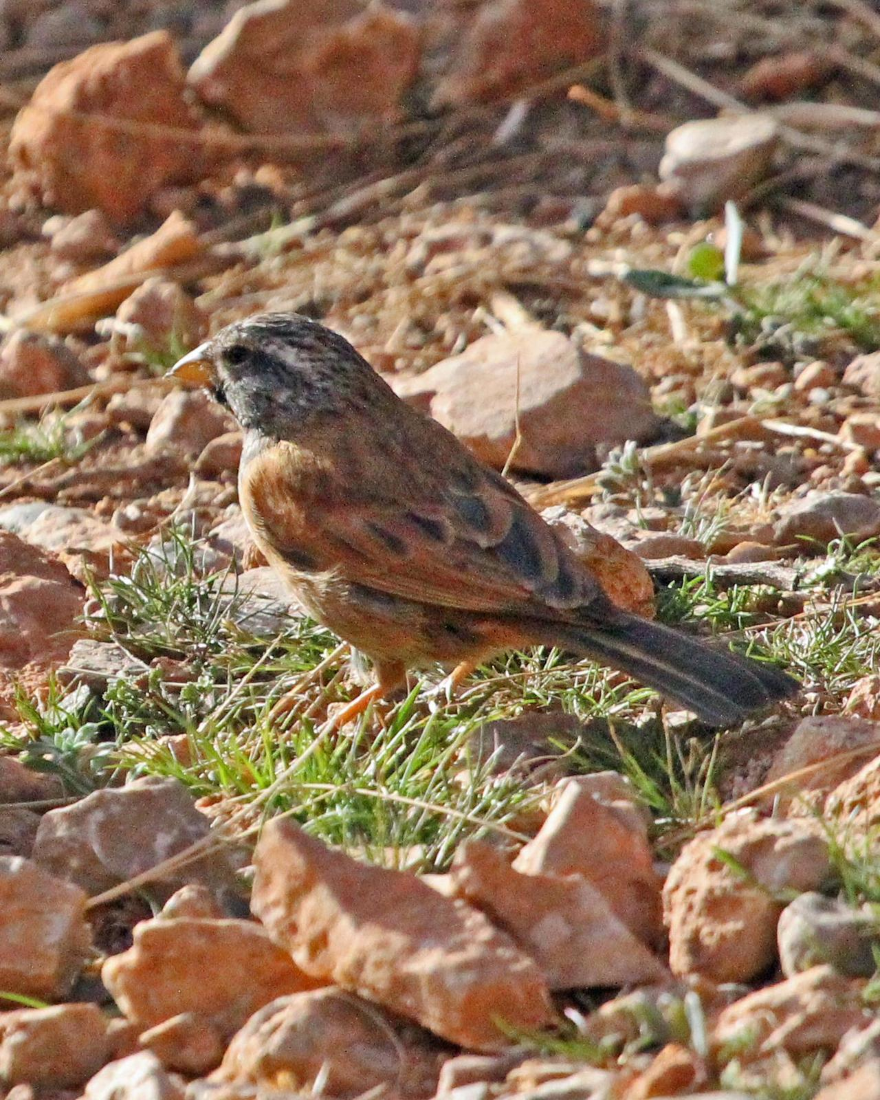 Rock Bunting Photo by Robert Polkinghorn