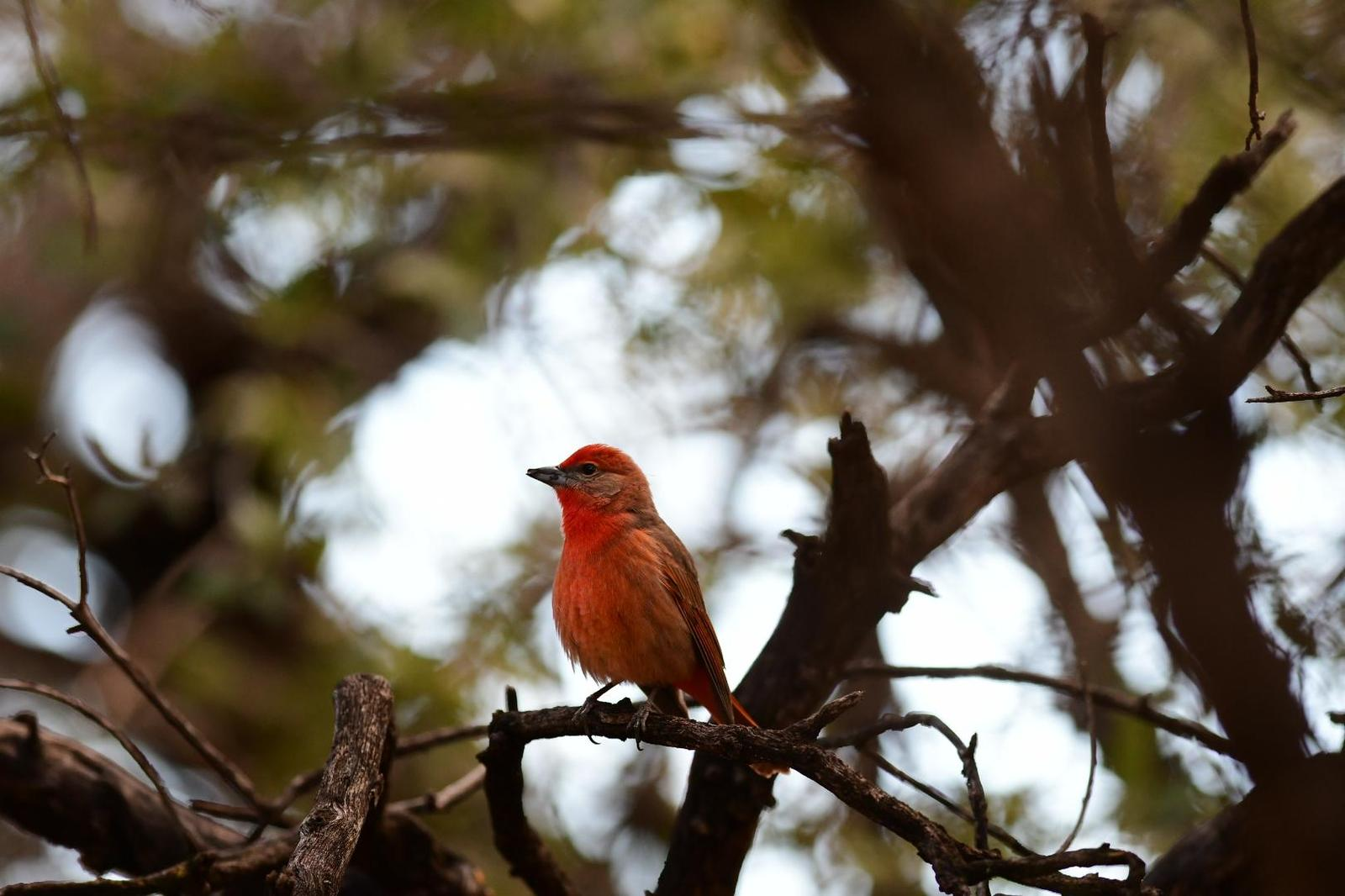 Hepatic Tanager Photo by Jacob Zadik