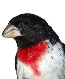 Rose-breasted Grosbeak Photo by Dan Tallman