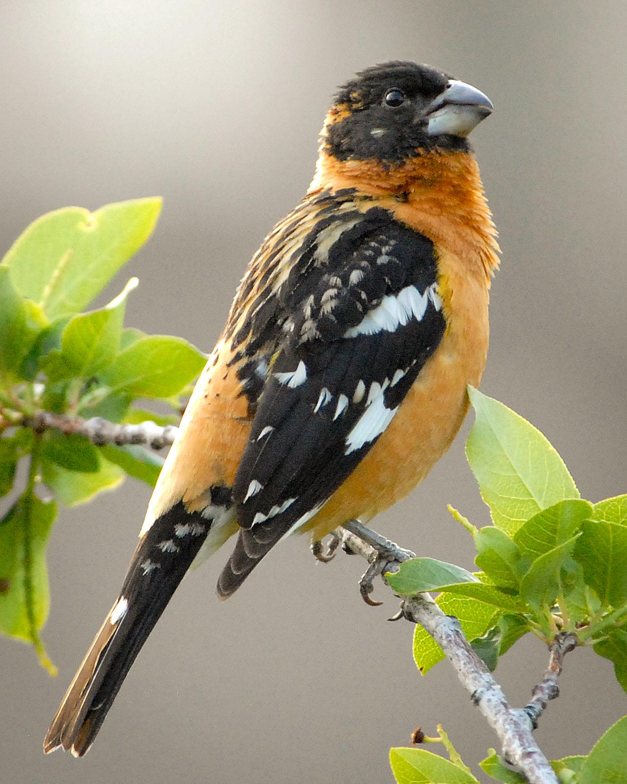 Black-headed Grosbeak Photo by Mike Fish
