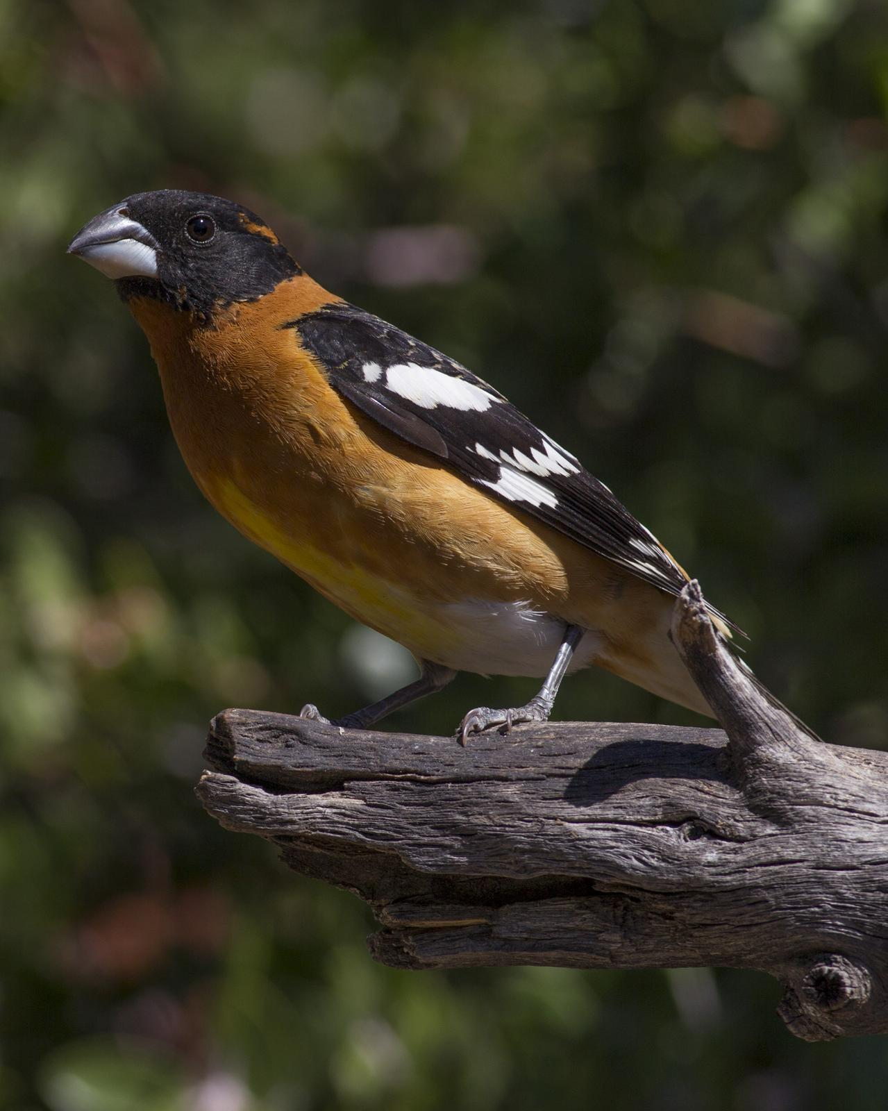 Black-headed Grosbeak Photo by Jeff Moore