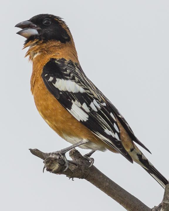 Black-headed Grosbeak Photo by Anthony Gliozzo