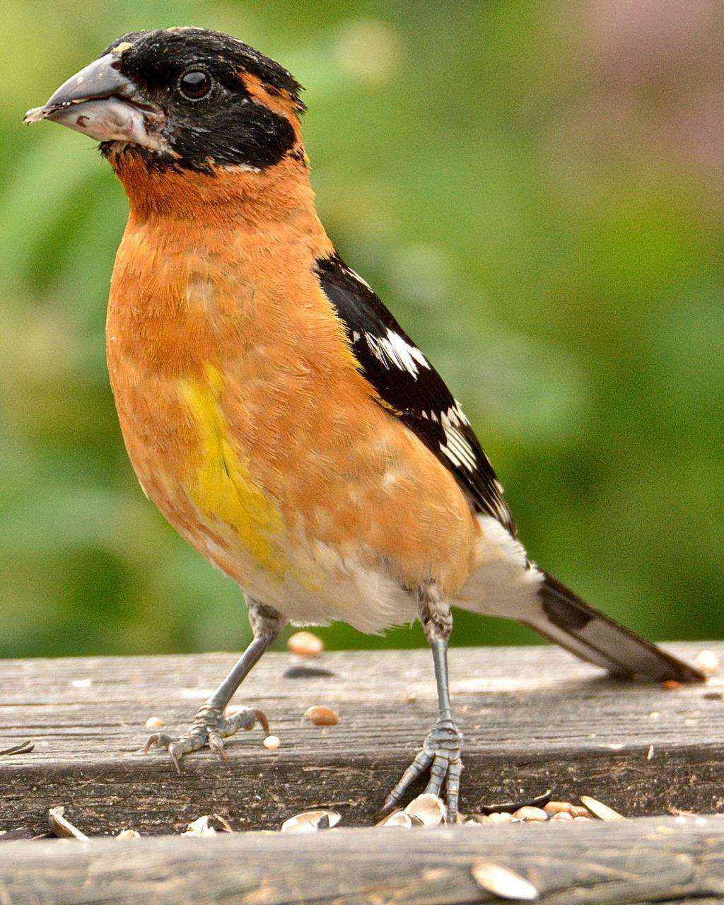 Black-headed Grosbeak Photo by Brian Avent
