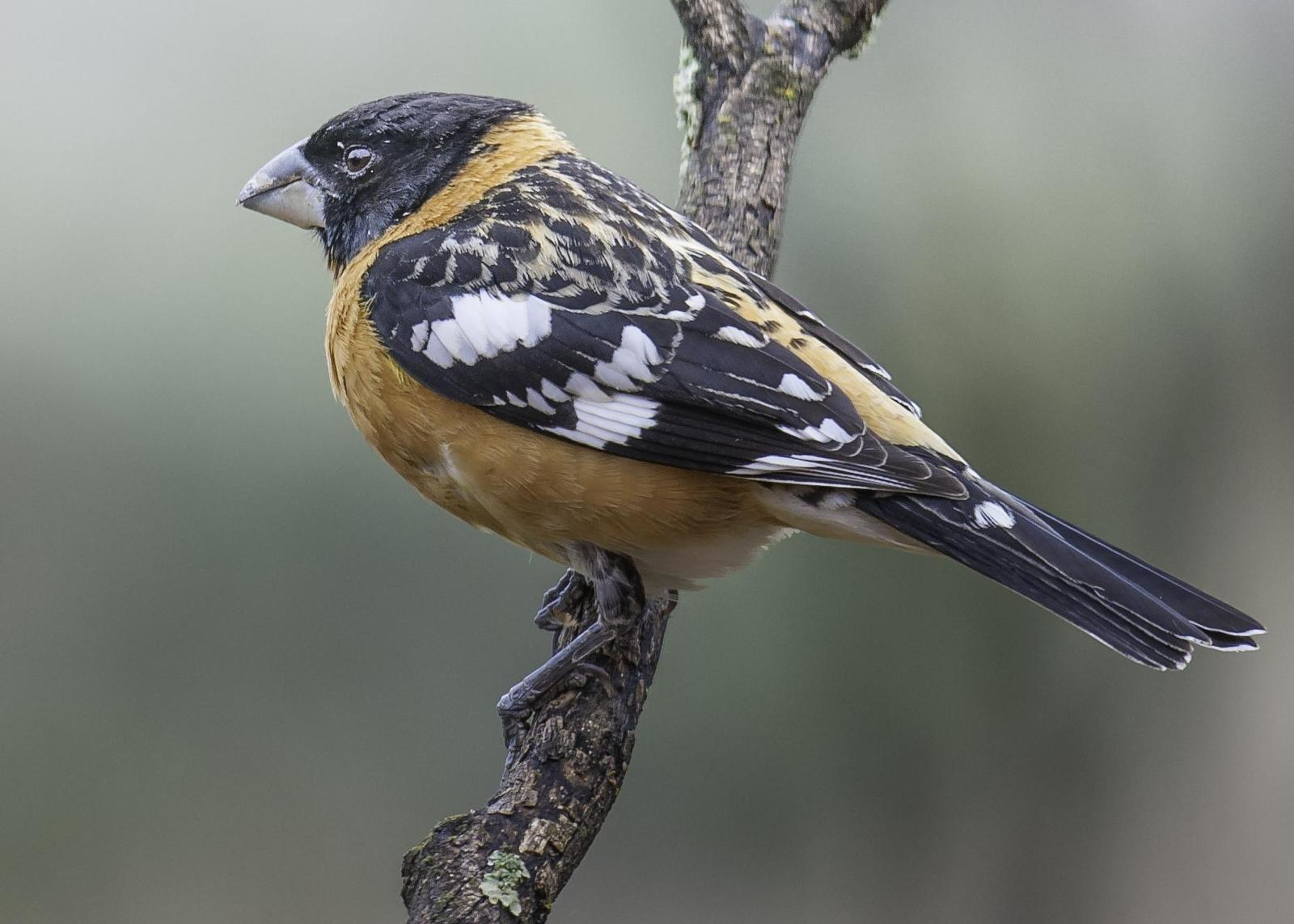 Black-headed Grosbeak Photo by Mason Rose