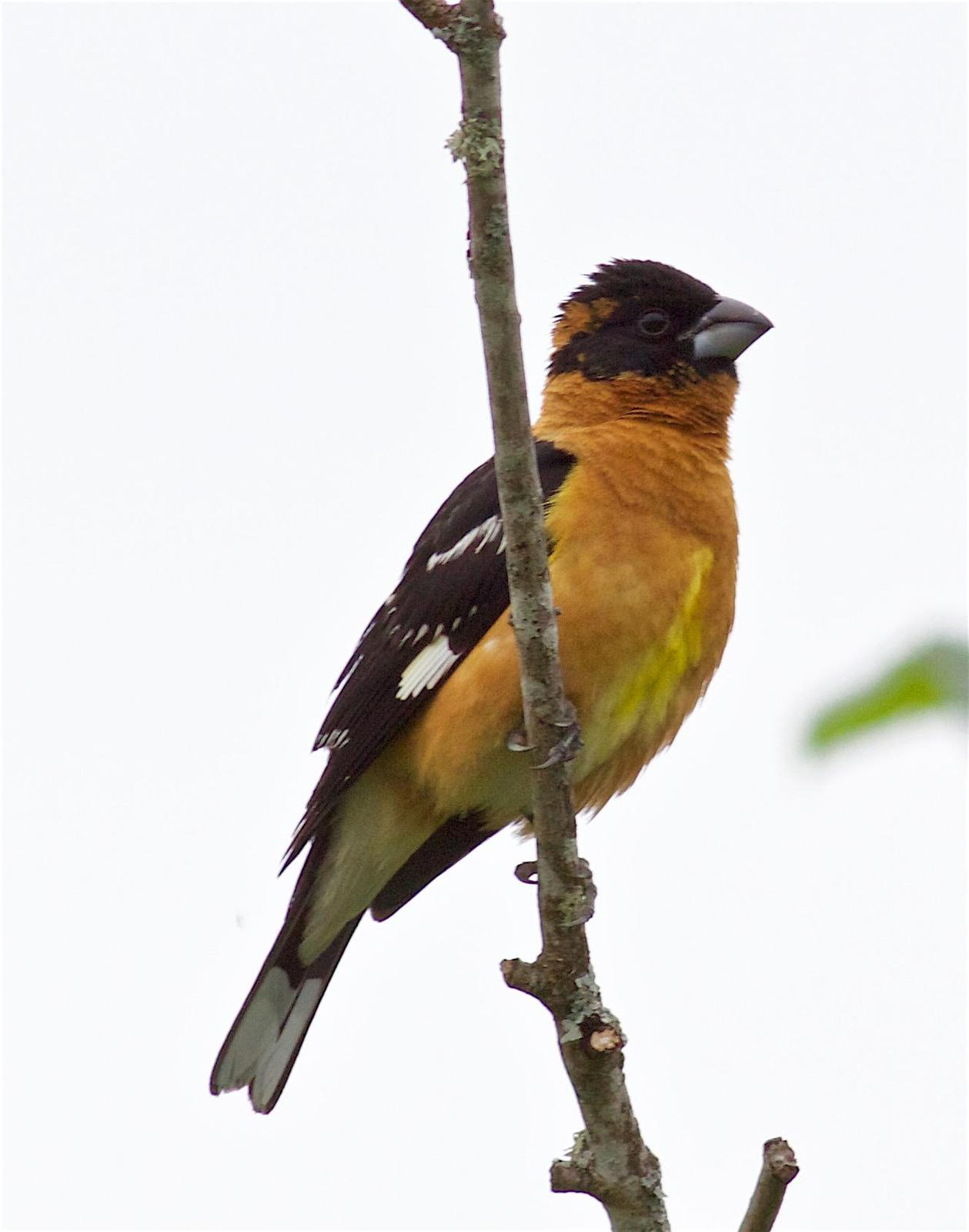 Black-headed Grosbeak Photo by Kathryn Keith