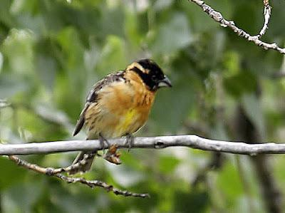 Black-headed Grosbeak Photo by Dan Tallman