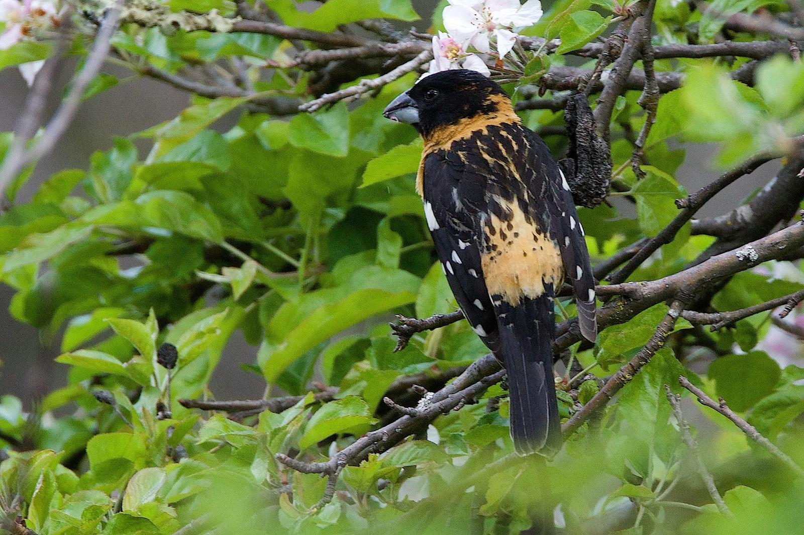Black-headed Grosbeak Photo by Gerald Hoekstra