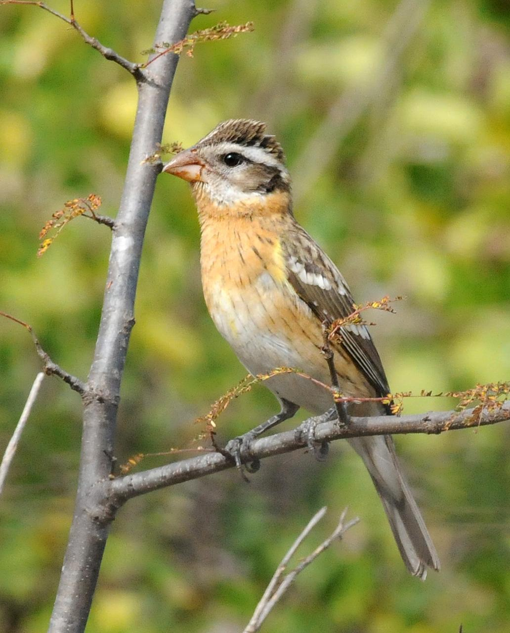 Black-headed Grosbeak Photo by Steven Mlodinow