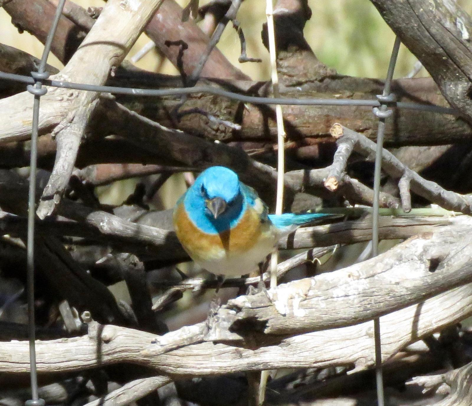 Lazuli Bunting Photo by Don Glasco