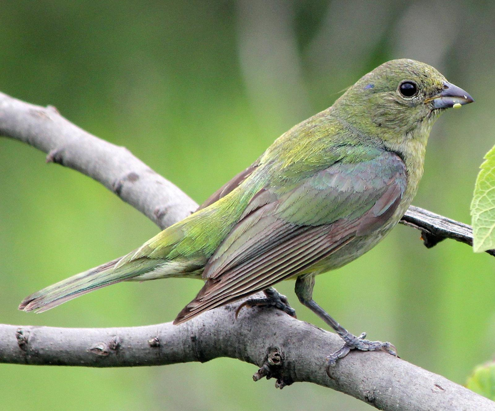 Painted Bunting Photo by Tom Gannon