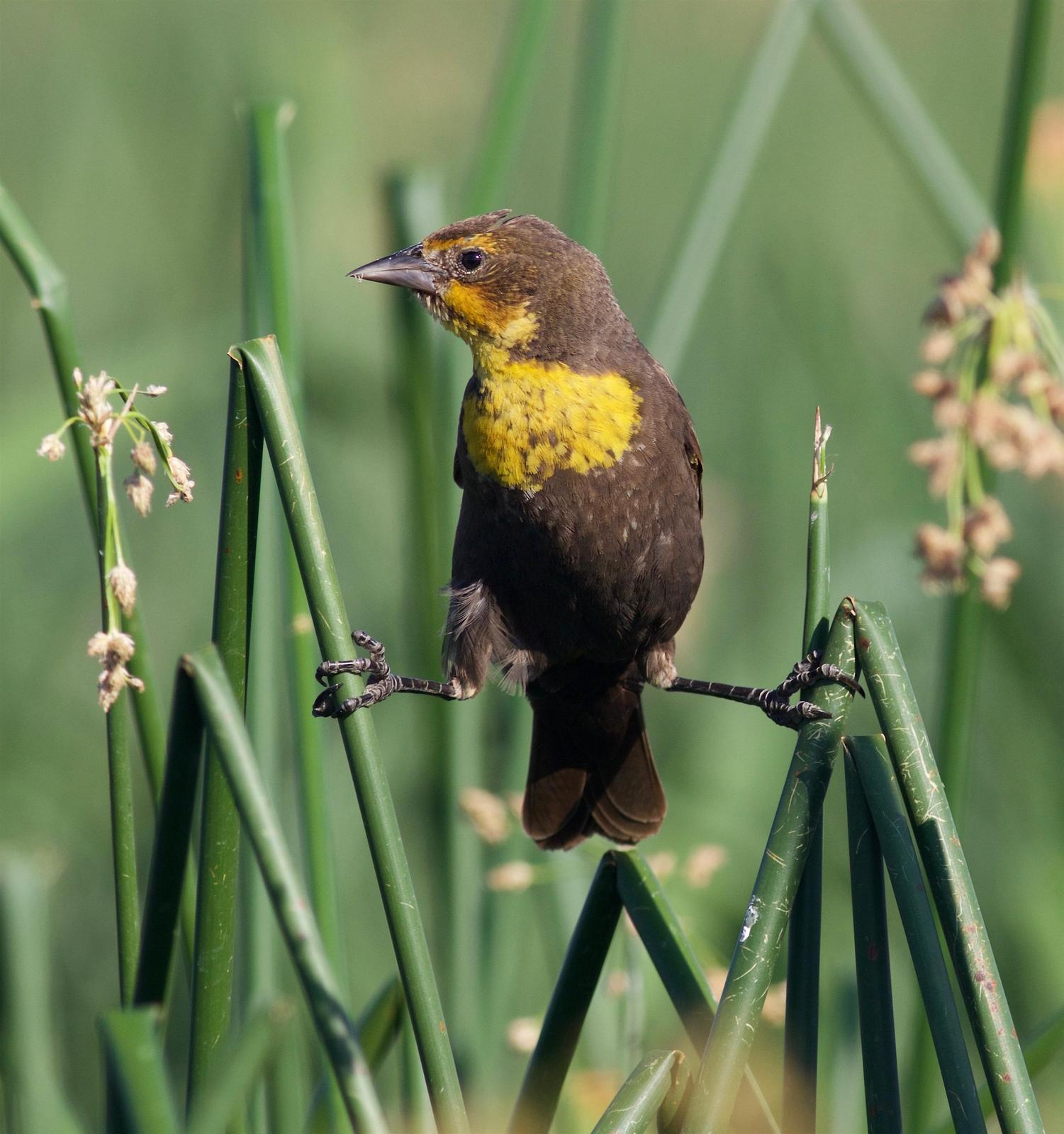 Yellow-headed Blackbird Photo by Kathryn Keith