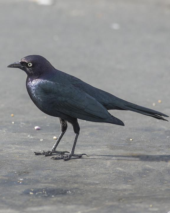 Brewer's Blackbird Photo by Anthony Gliozzo