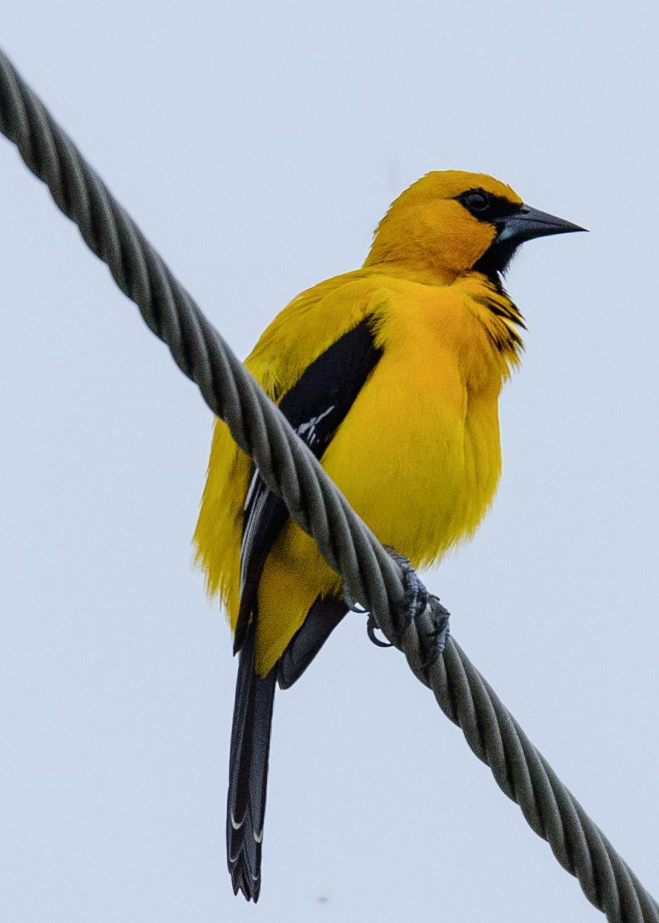 Yellow Oriole Photo by Keshava Mysore
