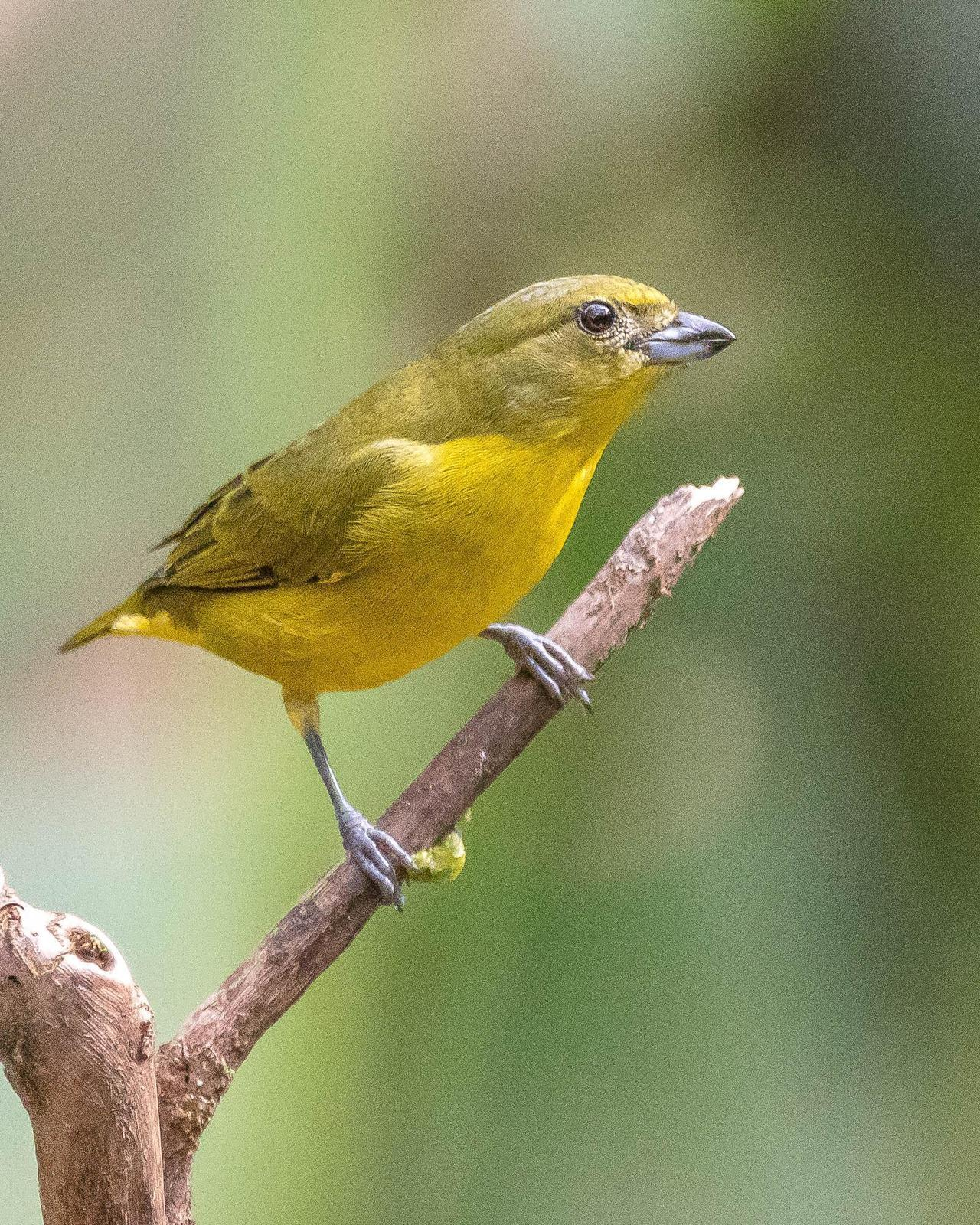 Thick-billed Euphonia Photo by Denis Rivard