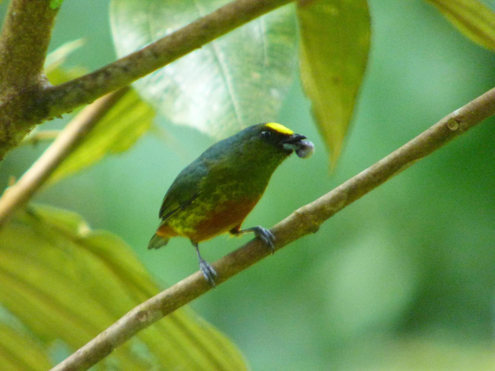 Olive-backed Euphonia Photo by Phil Ryan