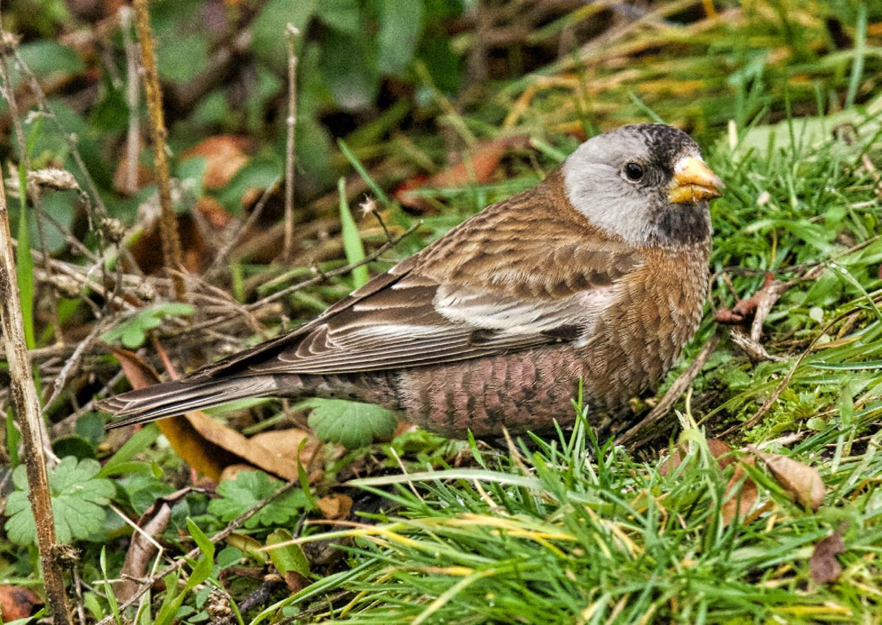 Gray-crowned Rosy-Finch (Hepburn's) Photo by Brian Avent