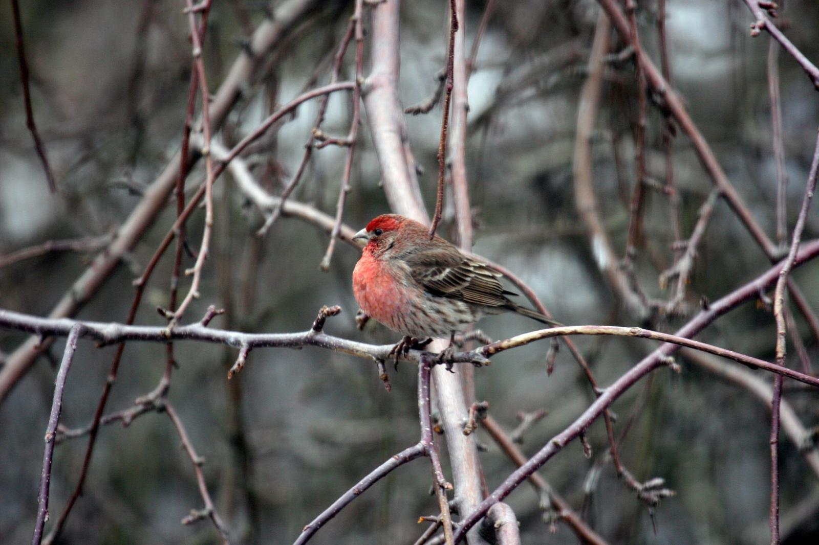 House Finch Photo by Roseanne CALECA