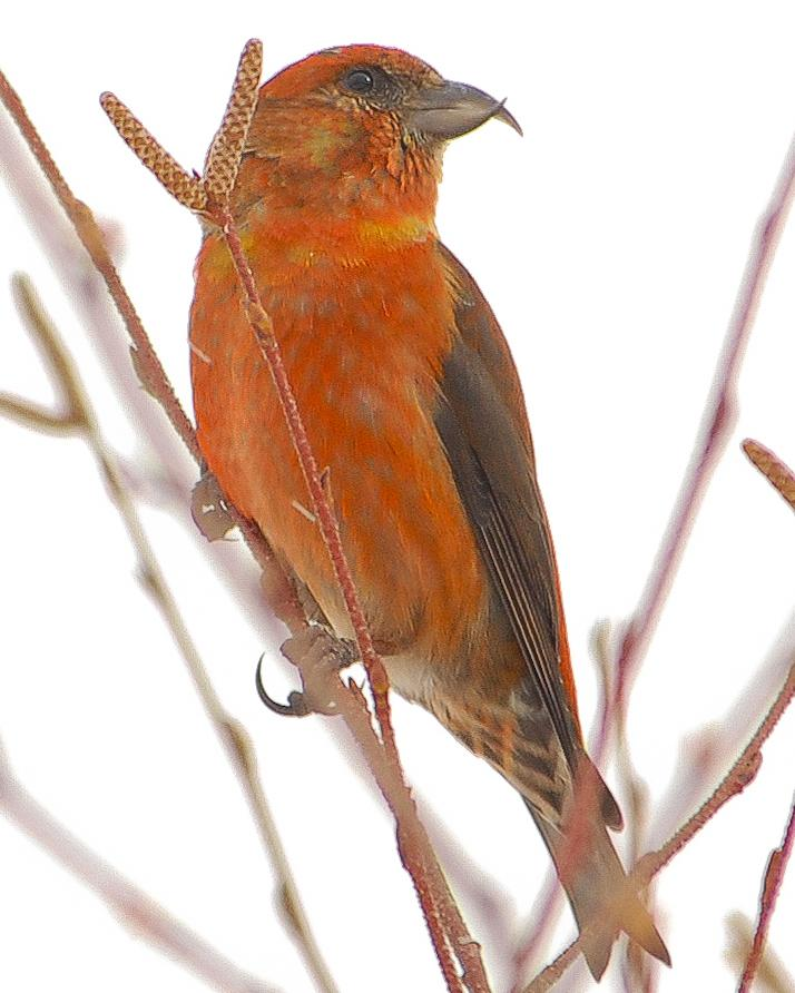 Red Crossbill Photo by Mike Fish