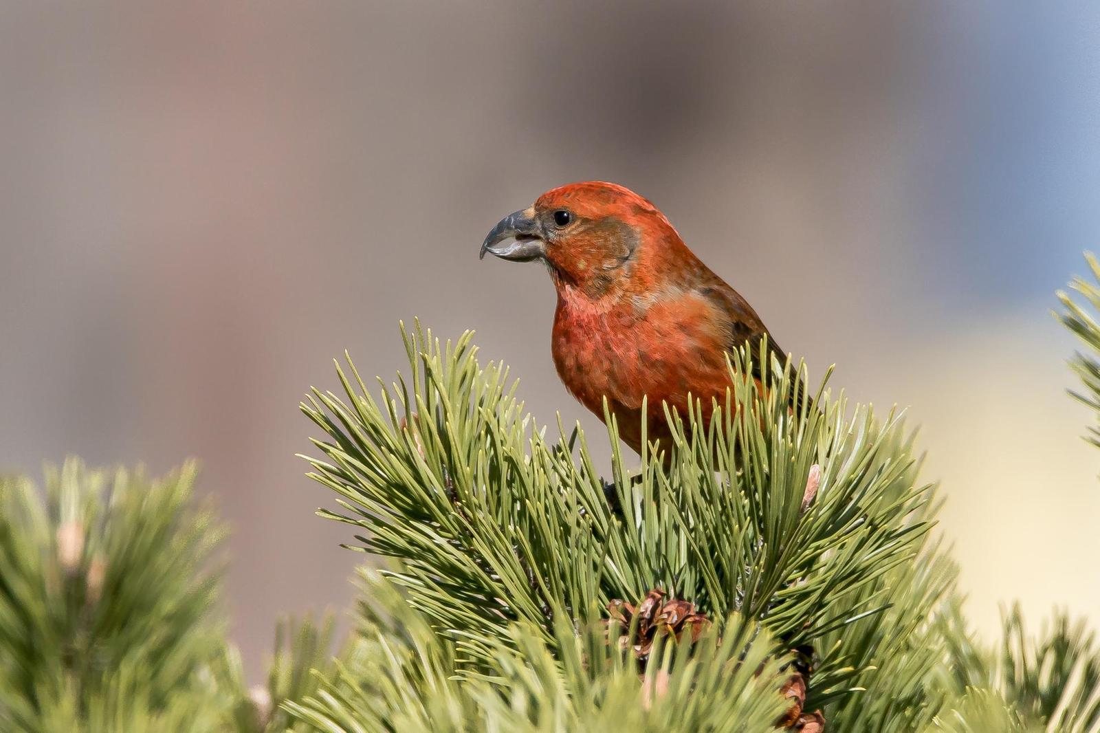 Red Crossbill Photo by Gerald Hoekstra