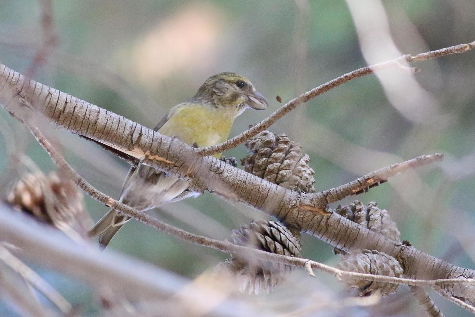 Red Crossbill Photo by Tom Ford-Hutchinson
