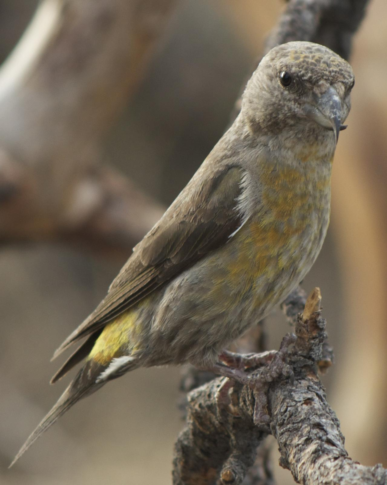 Red Crossbill Photo by Mark Baldwin