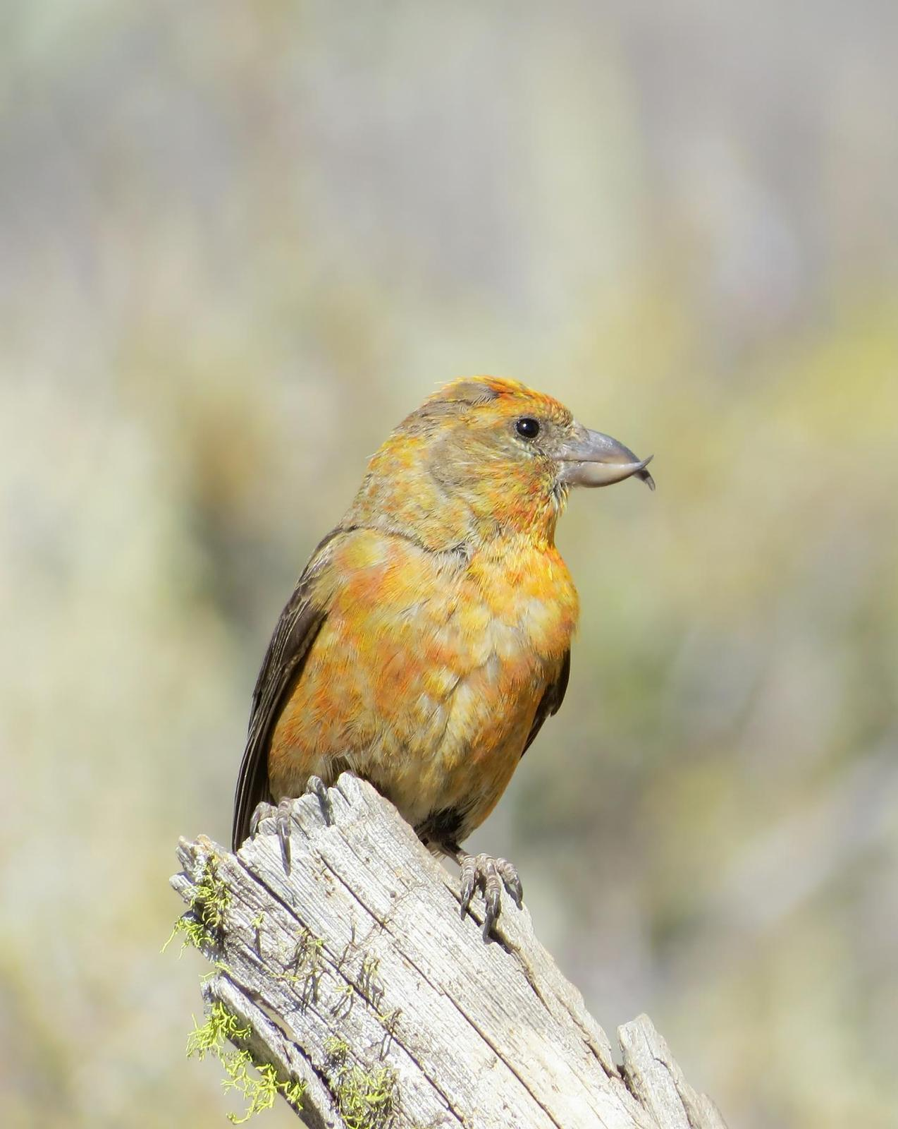 Red Crossbill Photo by Priscilla Sokolowski