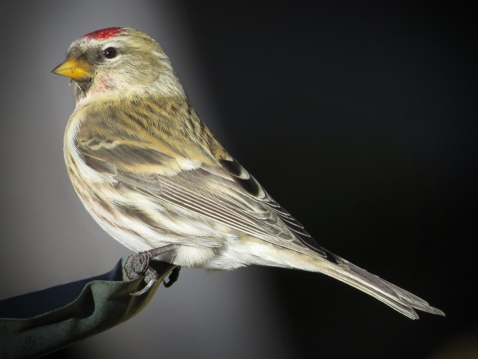 Common Redpoll Photo by Bob Neugebauer