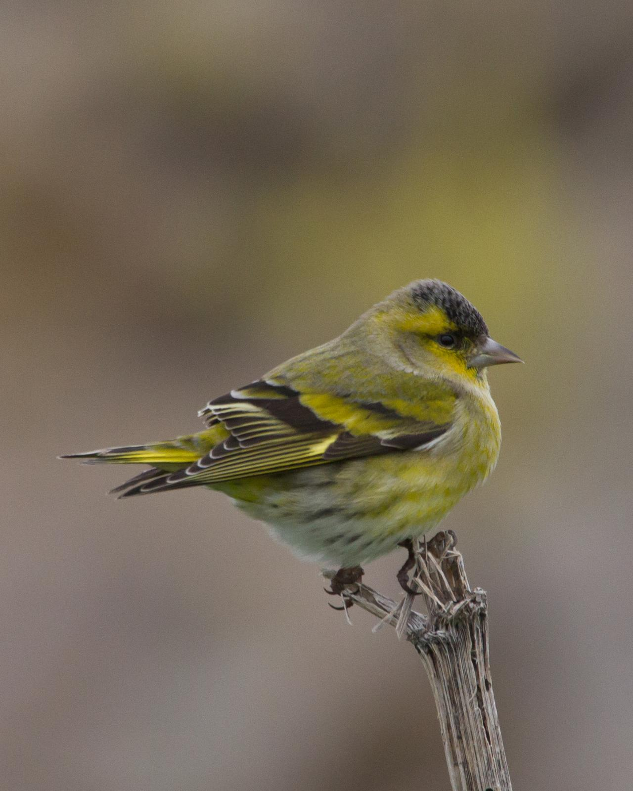 Eurasian Siskin Photo by Kasia  Ganderska Someya