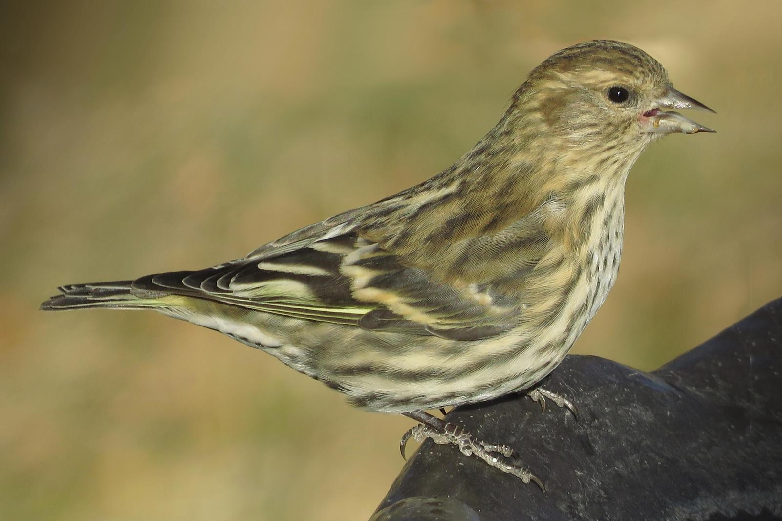 Pine Siskin Photo by Bob Neugebauer
