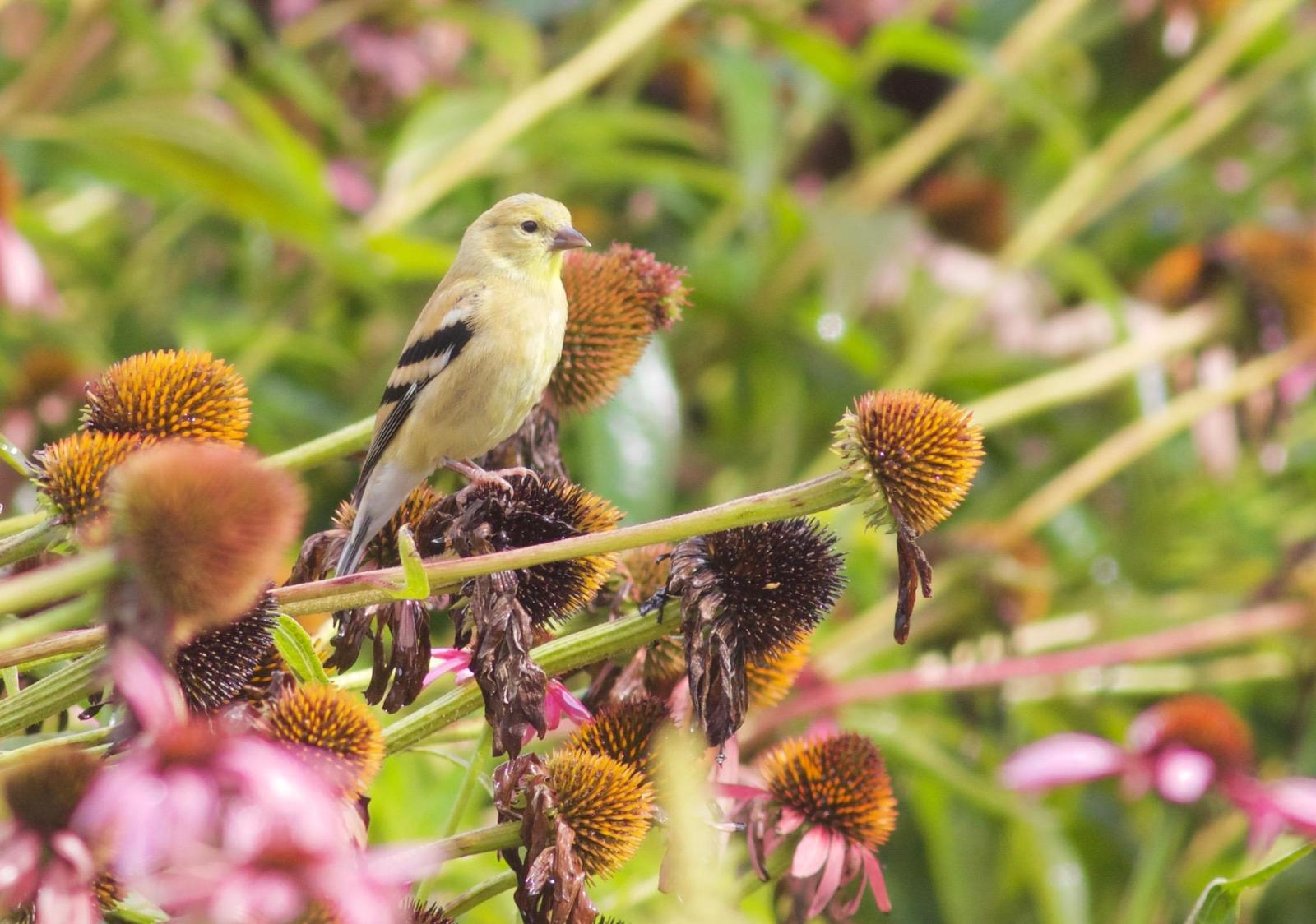 American Goldfinch Photo by Kathryn Keith