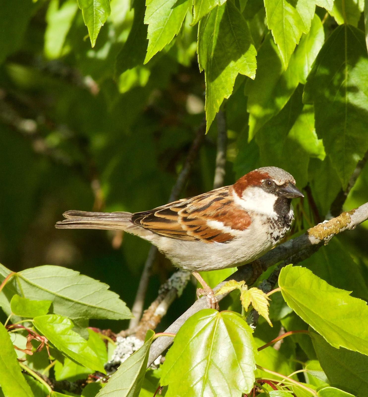 House Sparrow Photo by Kathryn Keith