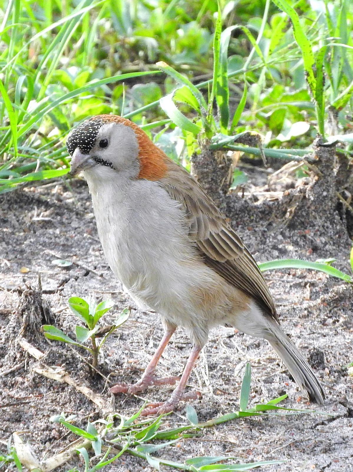 Speckle-fronted Weaver Photo by Todd A. Watkins