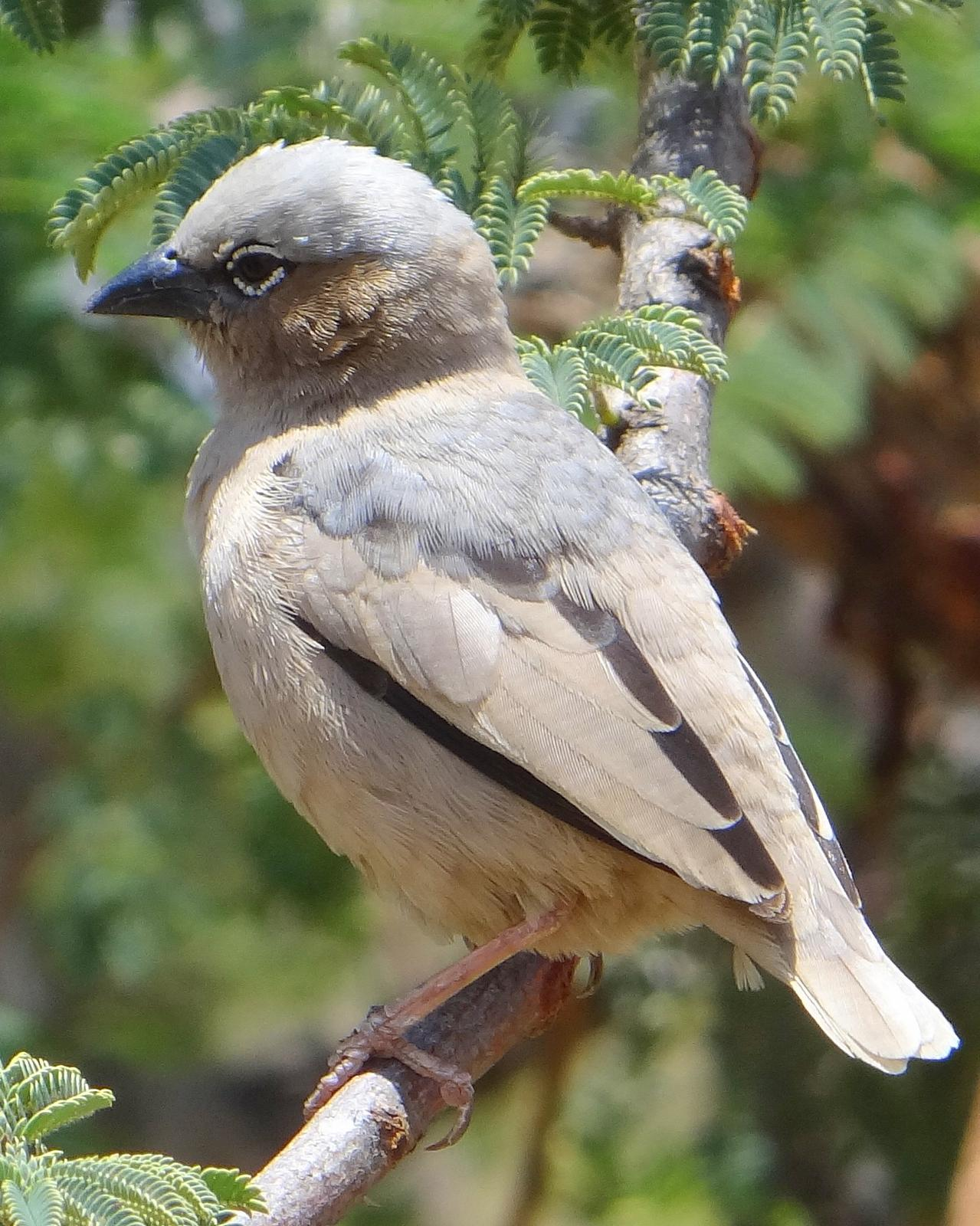 Gray-headed Social-Weaver Photo by Todd A. Watkins