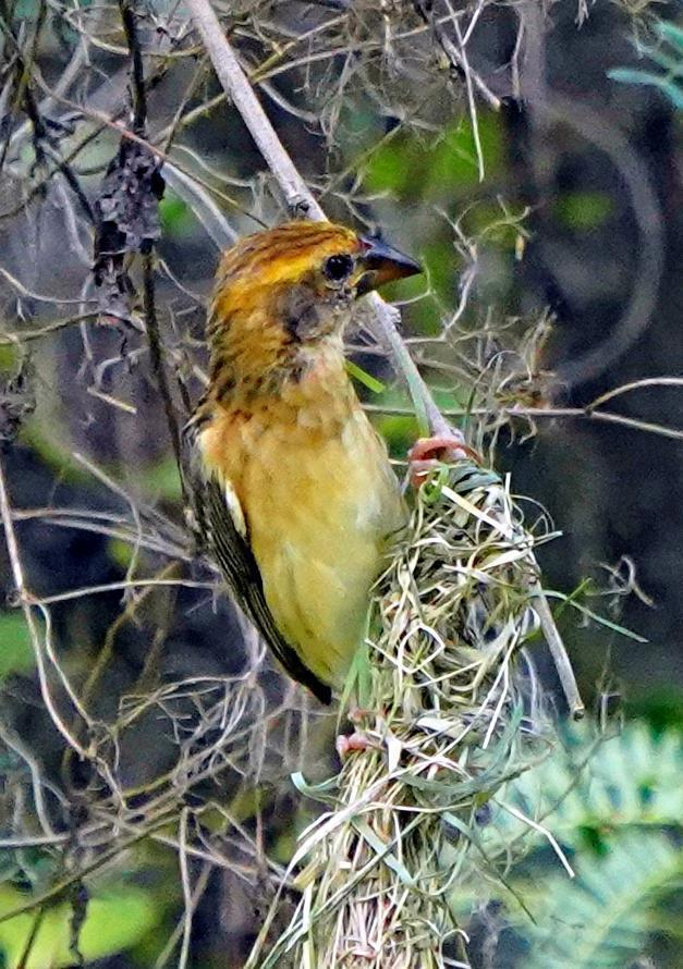 Baya Weaver Photo by Steven Cheong