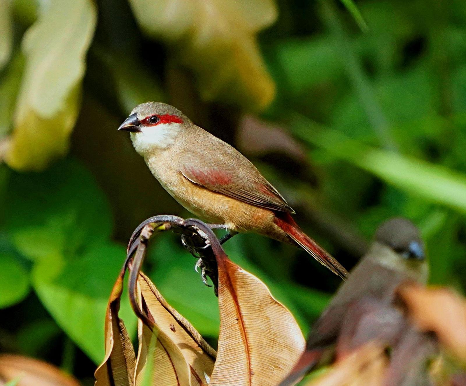 Crimson-rumped Waxbill Photo by Steven Cheong