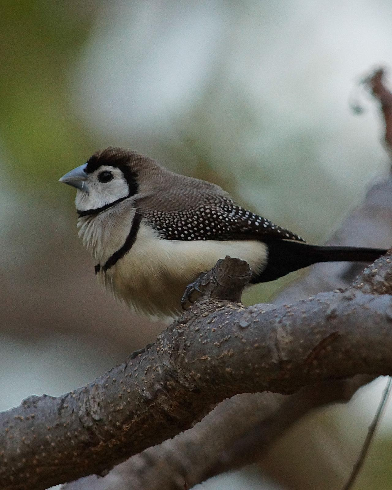 Double-barred Finch Photo by Steve Percival