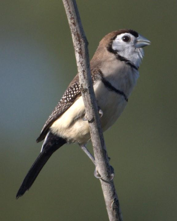 Double-barred Finch Photo by Mat Gilfedder