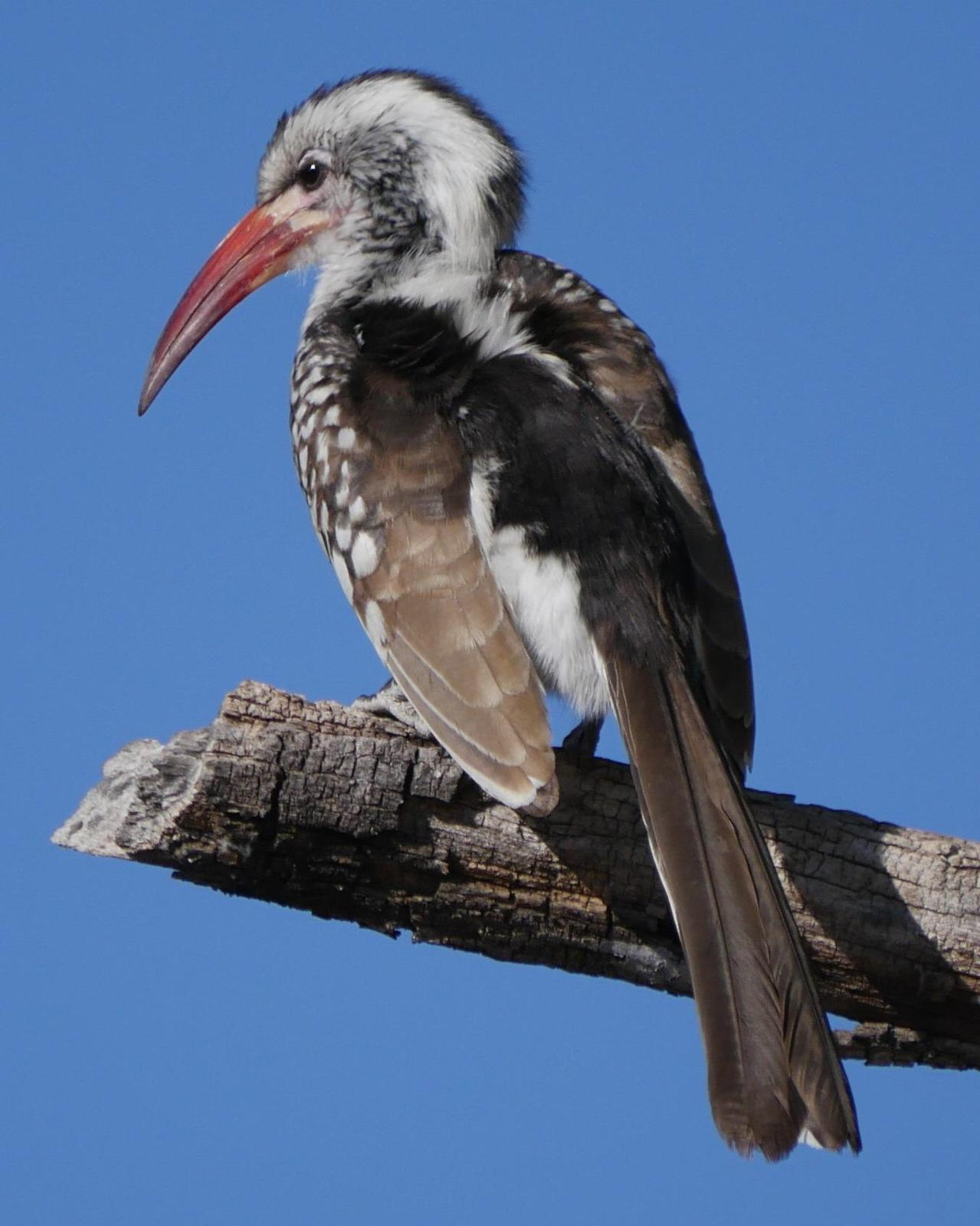 Southern Red-billed Hornbill Photo by Peter Lowe