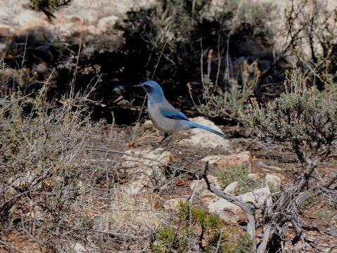 Woodhouse's Scrub-Jay Photo by Tony Heindel